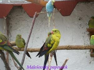 papousek1